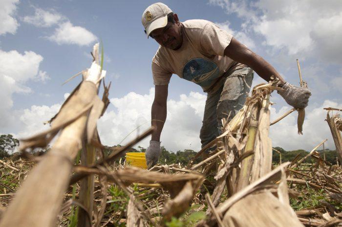 Estatal petrolera venezolana también pone en riesgo la producción de maíz para hacer arepas