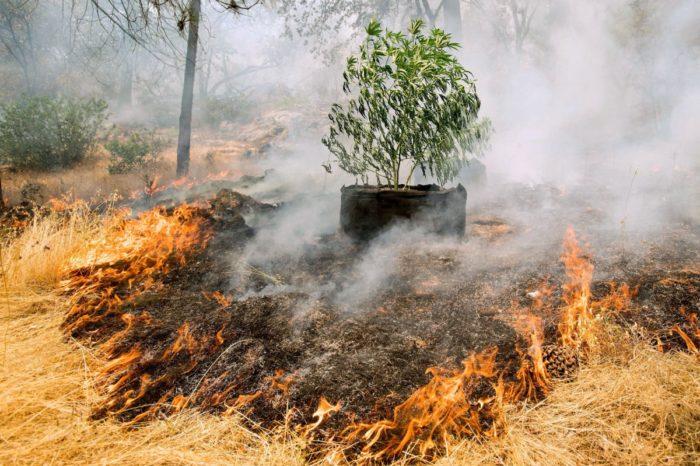 Incendios en California arrasan con 'el país de la marihuana'